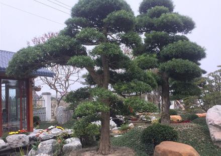 景观设计施工造型日本罗汉松