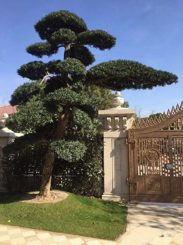 罗汉松,庭院景观树首选2
