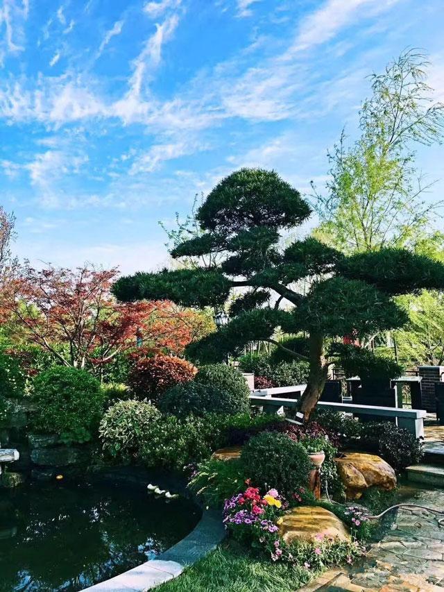 罗汉松,庭院景观树首选3