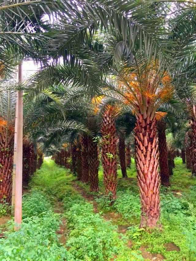 54亩中东海枣基地4