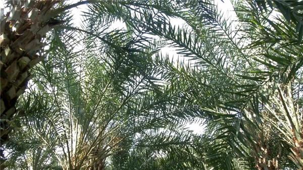 中东海枣树