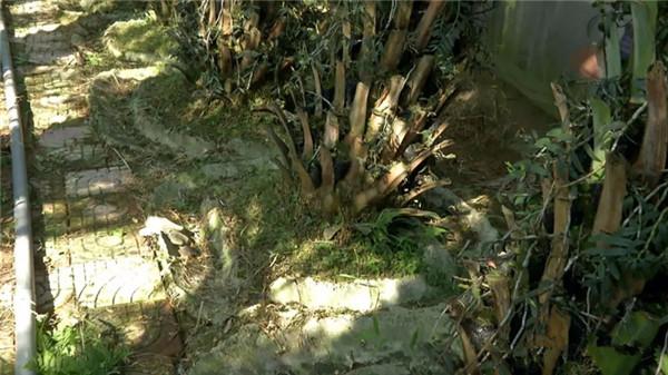在每棵中东海枣树下,都筑了一圈水泥槽(防虫)
