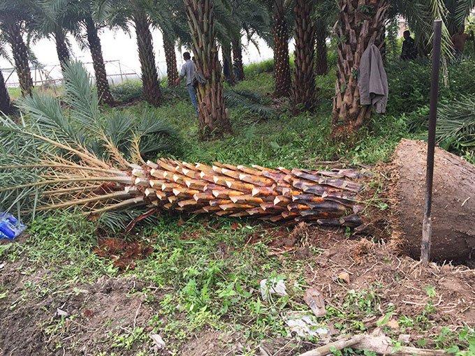 杆高6米的中东海枣