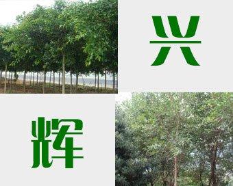 福建红皮榕树园艺场