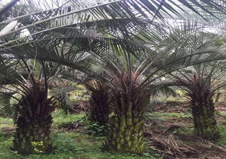 布迪椰子培育基地