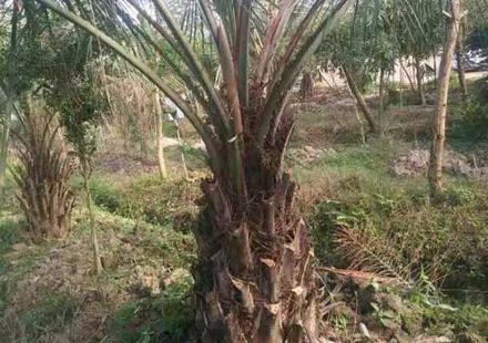 漳州布迪椰子照片