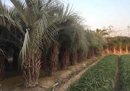 夏季的布迪椰子照片