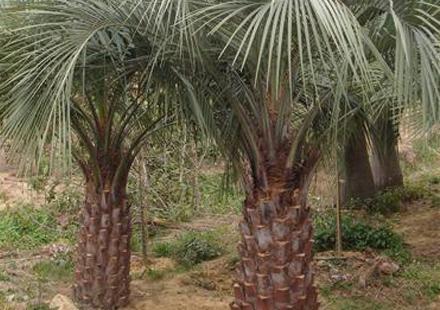 布迪椰子杆30-3米移植袋苗