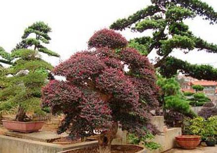 红皮榕盆景