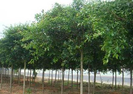 红皮榕苗木价格