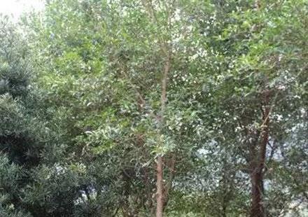 红皮榕:米径5-7公分
