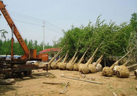 银杏之乡专供1-60公分银杏树