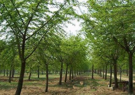 公园里姿态优美的银杏树