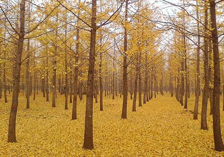 秋天下的银杏树如同黄金