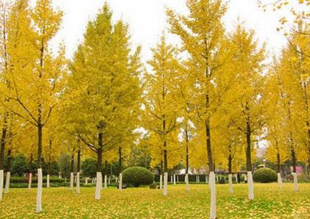 公园里那画面十分优美的银杏树