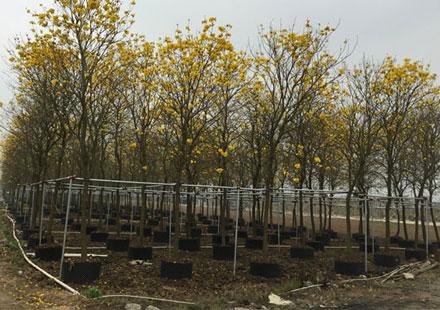 满城尽是黄金色的黄花风铃木