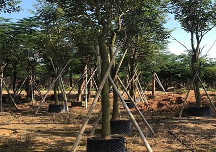春天时期绿油油的黄花风铃木