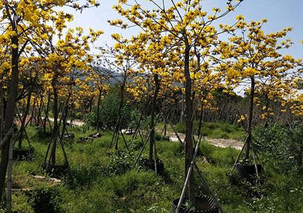 树高2米的黄花风铃木批发