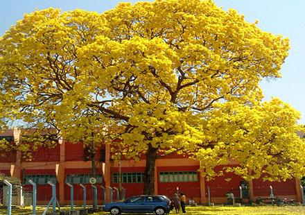 黄花风铃木是一种大型景观树
