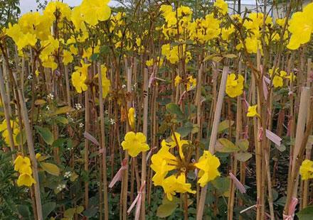 小枝杆的黄花风铃木需要用竹子支撑