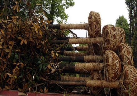 出售树高3米的广玉兰树