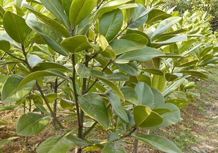 出售广玉兰树种