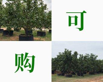 柚子树小苗基地