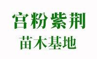福建宫粉紫荆小苗基地