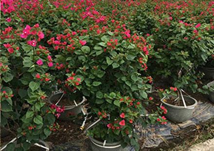 小盆漳州产三角梅种植注意三条