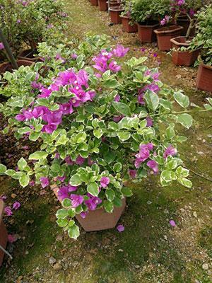 紫红色三角梅盆栽特写2