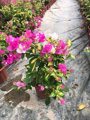 紫红色三角梅盆栽特写1