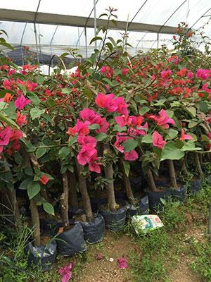 红色三角梅树