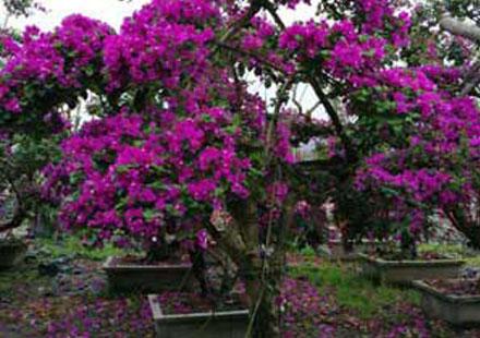 紫红色造型三角梅盆景