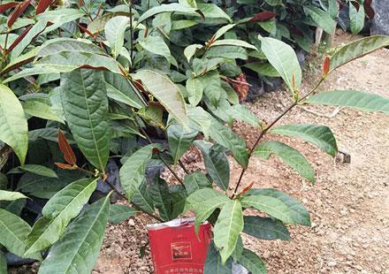 园林绿化工程常用的品种:红背桂