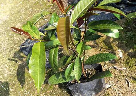 能种植在大树底下的红背桂