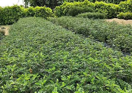 可购园苗木场育苗田里的胡椒木