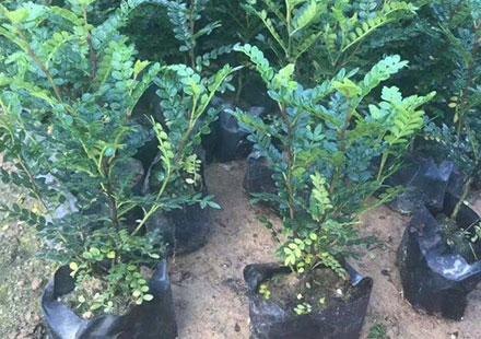 鲜花店里售卖的绿色植物:胡椒木