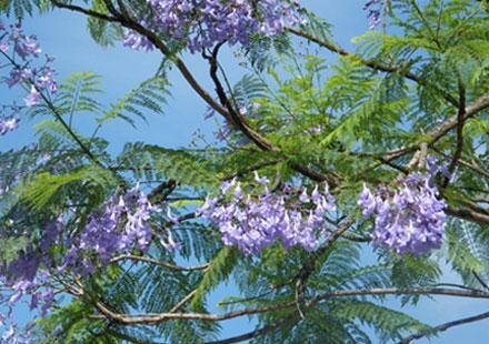 20公分蓝花楹树苗供应