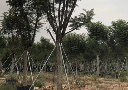 2020年大棵蓝花楹树供应