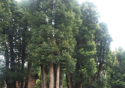 湖南30公分移植大香樟树