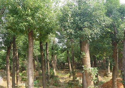 香樟是公园最常见树种排行榜的第一名