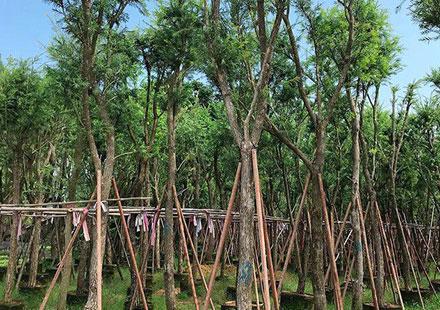"""串钱柳是公园里的""""明星树"""""""