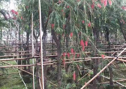 大量批发公园造景树种:串钱柳