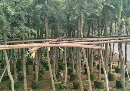 红彤彤的特色景观树:串钱柳