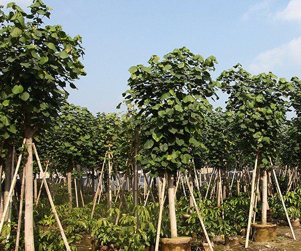 形态美观的景观苗木:黄槿3