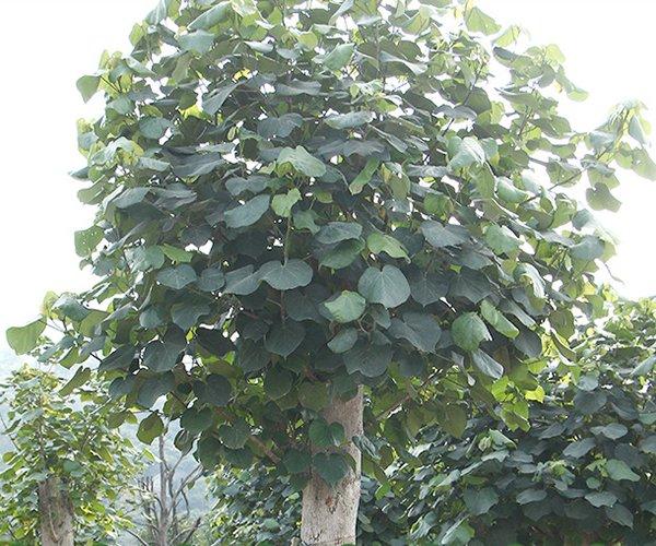 形态美观的景观苗木:黄槿2