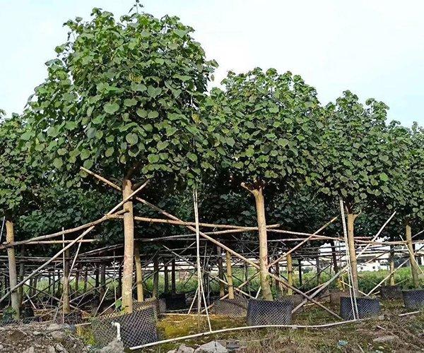 枝干粗壮的行道树第5名:黄槿2