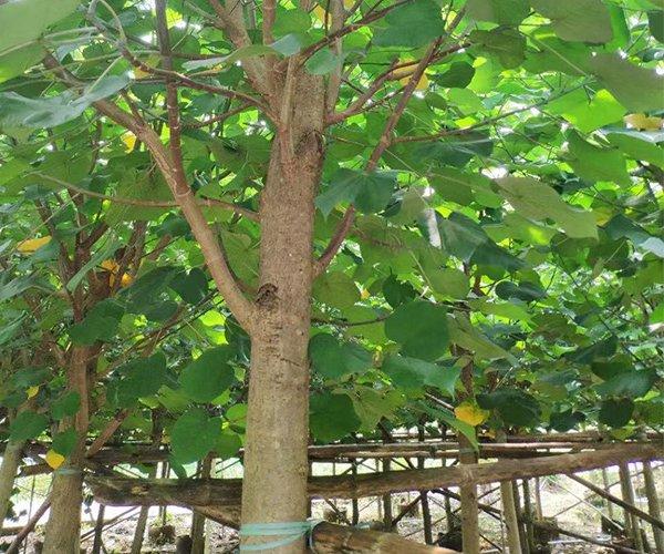 枝干粗壮的行道树第5名:黄槿3