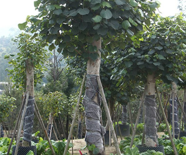 枝干粗壮的行道树第5名:黄槿1