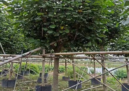 黄槿树2020年最新价格